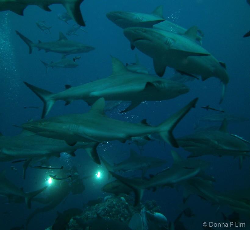 shark frenzy final