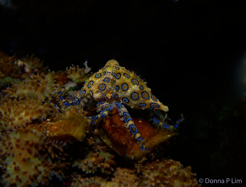 AA blue ringed octopus2 copy.jpg