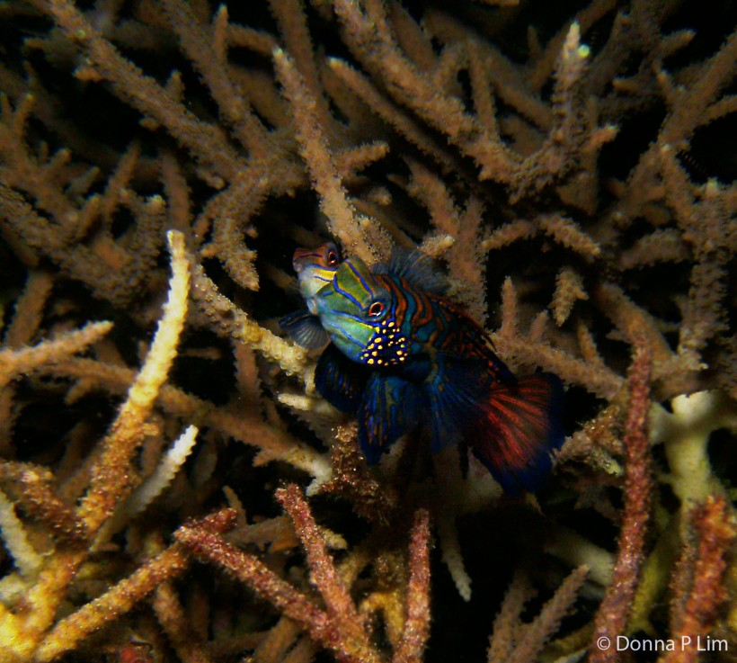 AA mating mandarin fish copy.jpg