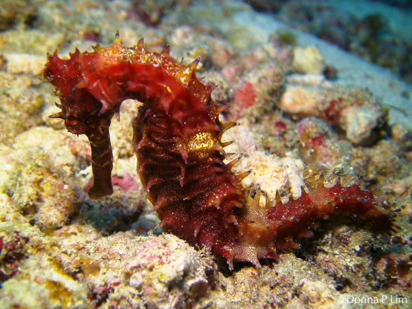 AA thorny sea horse