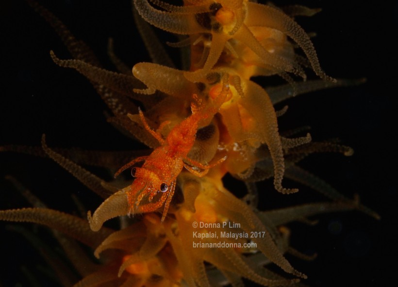 blog edited- whip coral shrimp