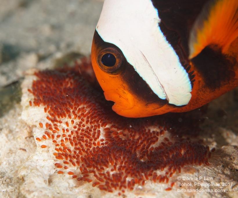 clownfish orange eggs